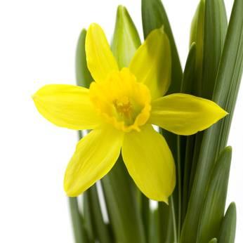 Parmi toutes les fleurs que nous avons la chance de pouvoir cultiver en  France, la jonquille est une véritable princesse la signification de cette  fleur
